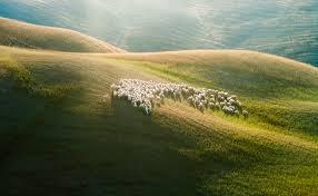 sheepherd